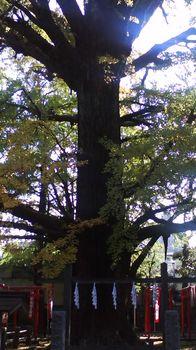銀杏の樹.jpg